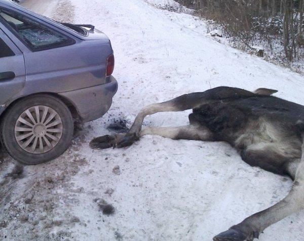 Лось спровоцировал аварию под Могилевом